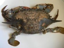 http://www.stuarthsmith.com/wp-content/uploads/2011/06/Sick-Gulf-Breeze-crab-2-300x225.jpg