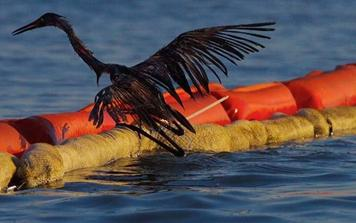 Wildlife Impacted by the BP Deepwater Horizon Oil Spill 1