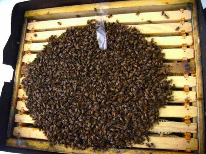 Гибель пчёл — случайность или закономерный результат деятельности людей?