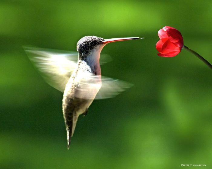 Фото колибри в полёте